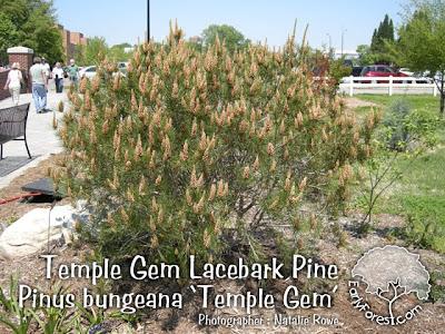 Temple Gem Lacebark Pine Tree