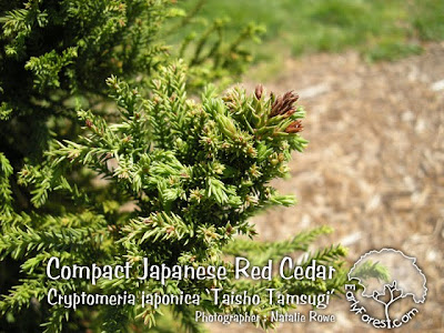 Compact Japanese Red Cedar