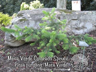 Mesa Verde Colorado Spruce