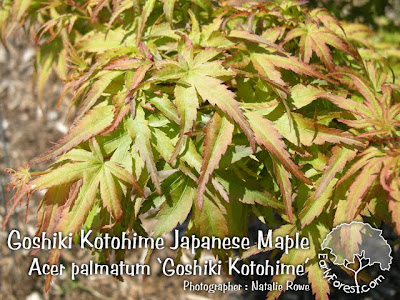 Goshiki Kotohime Japanese Maple Leaves