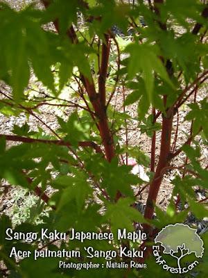 Sango Kaku Japanese Maple Bark