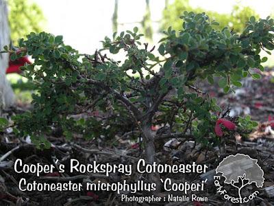Cooper's Rockspray Cotoneaster