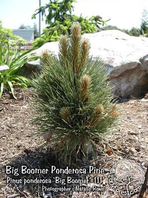 Big Boomer Ponderosa Pine