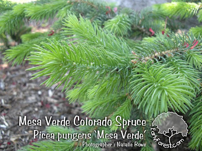 Mesa Verde Colorado Spruce Needles