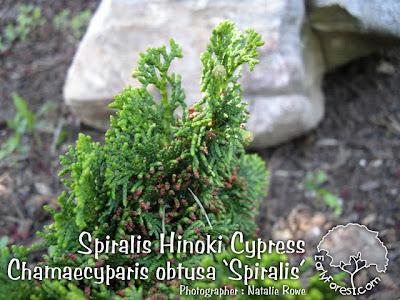 Spiralis Hinoki Cypress Foliage