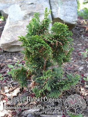 Spiralis Hinoki Cypress