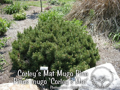 Corley's Mat Mugo Pine