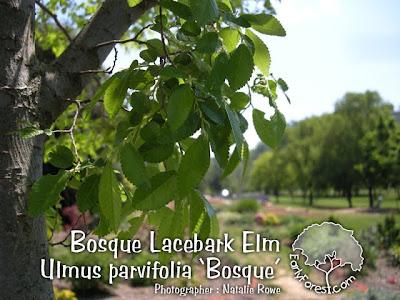Bosque Elm Leaves