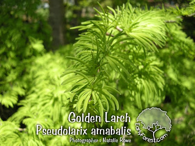 Golden Larch Foliage
