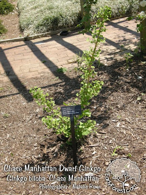 Chase Manhattan Dwarf Ginkgo Tree