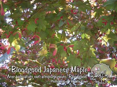 Bloodgood Japanese Maple Leaves & Seeds