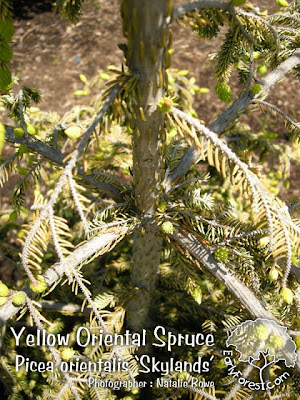 Yellow Oriental Spruce Bark