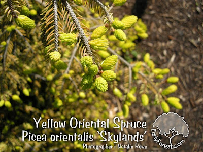 Yellow Oriental Spruce Foliage