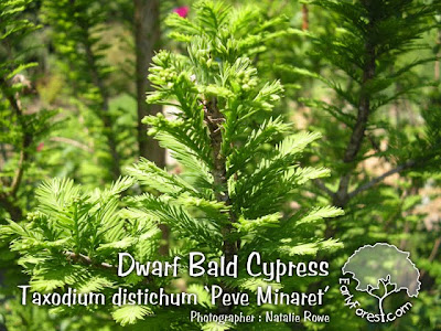 Dwarf Bald Cypress Foliage