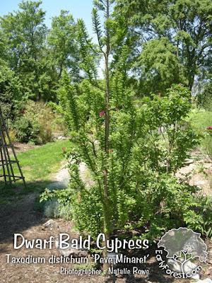 Dwarf Bald Cypress Tree