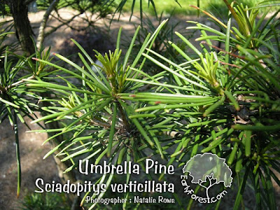 Umbrella Pine Needles