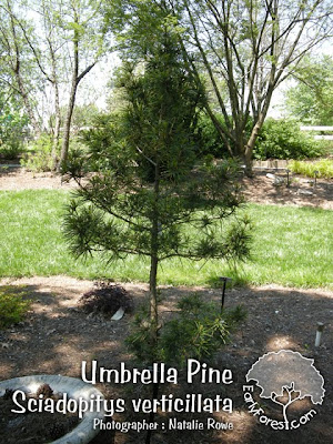 Umbrella Pine Tree - Plant Guide - Online guide to Flowers, Plants