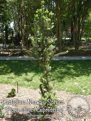 Fastigiate Norway Spruce Tree