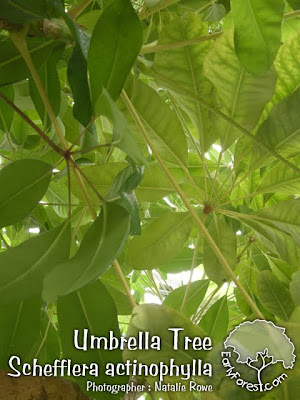 Umbrella Tree Leaves