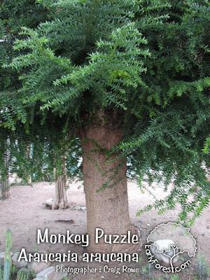 Monkey Puzzle Bark