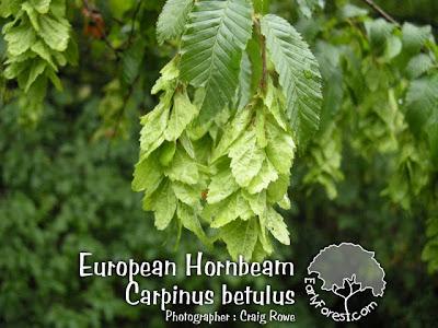 European Hornbeam Catkins