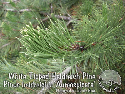 White Tipped Heldreich Pine Needles