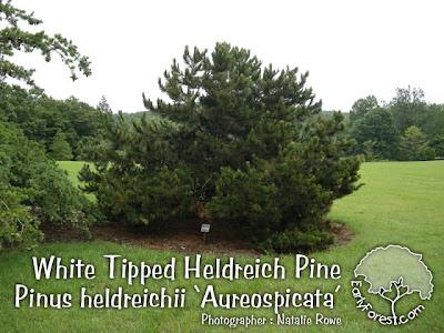 White Tipped Heldreich Pine Tree