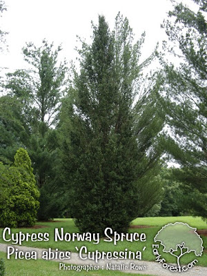 Cypress Norway Spruce