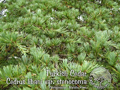 Turkish Cedar Foliage