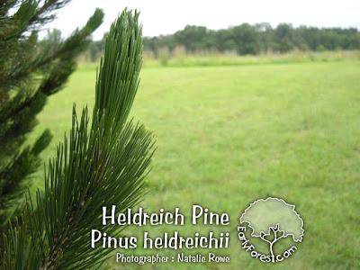 Heldreich Pine Needles