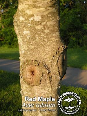 red elm tree pictures. elm tree bark identification.