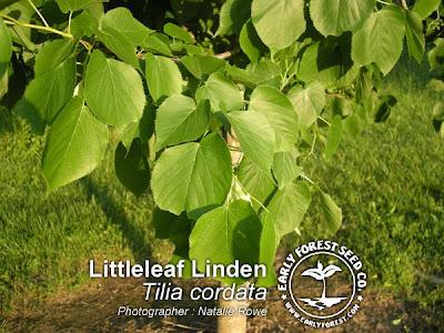 Littleleaf Linden Leaves