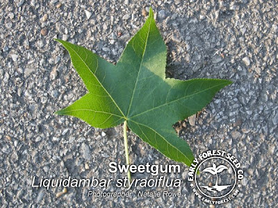Sweetgum Leaf