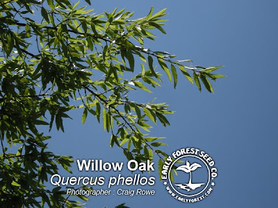 Willow Oak Leaves