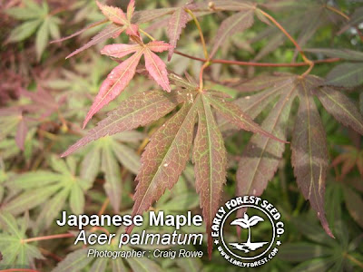 japanese maple leaves. japanese maple leaves tattoo.