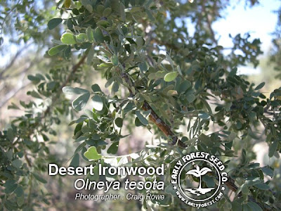 Desert Ironwood Leaves
