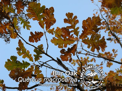 Fall Bur Oak Leavs