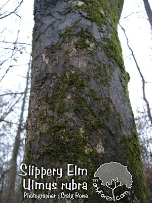 picture cedar elm tree picture slippery elm tree