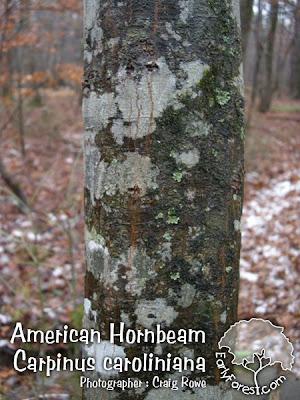 American Hornbeam Bark