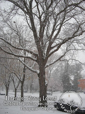 Thornless Honey Locust Tree