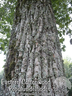 Eastern Cottonwood Bark