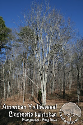 American Yellowwood Tree