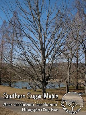 Southern Sugar Maple Tree