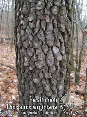 Persimmon Bark