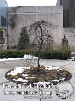 Lavender Twist Redbud