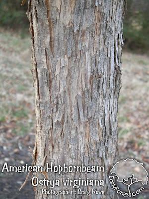 American Hophornbeam Bark