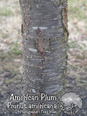 American Plum Bark