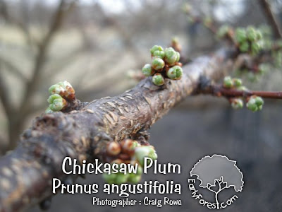 Chickasaw Plum Buds