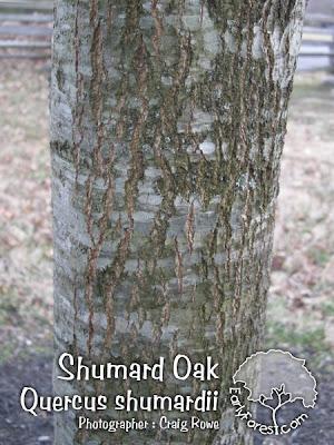 Shumard Oak Bark