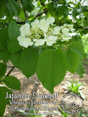 Japanese Snowball Viburnum Shasta